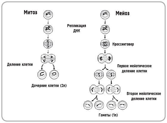 Митоз и мейоз